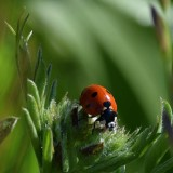 7-Spot Ladybug