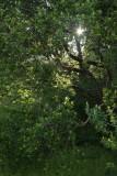 Sunstar In Green
