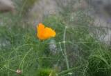 Golden Poppy In Soft Light