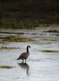 Canada Goose Reflected