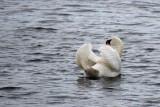 Swan Wings Up