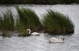 Two Swans Eating