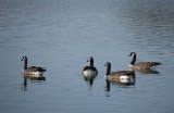 Four Geese In Calm Waters