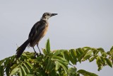 Young Great Tailed Grackle