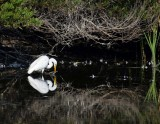 Reflection of a Great Egret