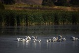 8/17/16: Many Pelicans