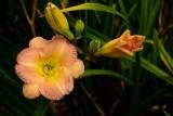 Pink & Yellow Daylily