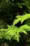 Bright Green Fern
