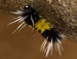 Tussock Moth Caterpillar - Don't Touch!