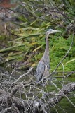 Great Blue Heron Standing Tall