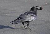 Crow With A Nut