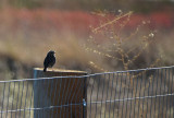 Rimlit Sparrow