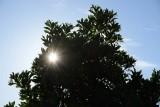 10/19/16: Sunstar Through the Tree