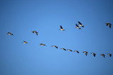 Canada Geese In A V