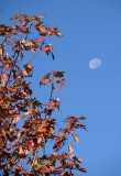 Leaves and Moon