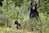 Blackbear and cub near Lake Louise