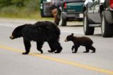 Black Bears Xing