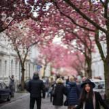 Cherry Blooming