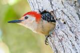 Watchful Woodpecker