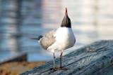 Rude Seagull