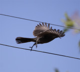 Phainopepla imm. in flight