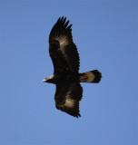 Juvenile Golden Eagle