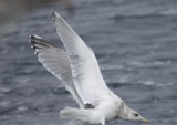 Adult Thayer's Gull 2