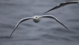 Adult Thayer's Gull 4