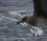 Adult Thayer's Gull 6