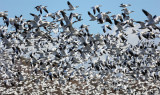 Ross' and Snow Geese