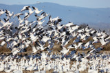 White Geese Taking Flight - early December 2016
