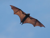 Philippines Flying Fox