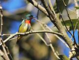 Fire-breasted Flowerpecker