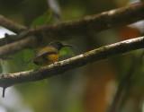 Apo Sunbird