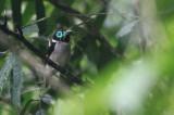 Mindanao Wattled Broadbill