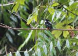 Silvery Kingfisher
