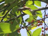 Amethyst Brown-Dove