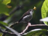 Buzzing Flowerpecker