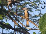 Mindanao Hornbill
