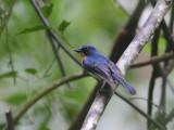Palawan Blue-flycatcher