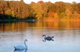 Swans at Horn Pond
