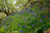 bluebells all the way?