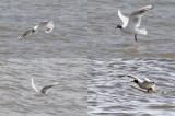 Black-Headed Gulls fishing