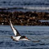 Oyster catcher - 'Haematopus ostralegus'