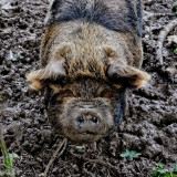 pig in muck, hopefully happy