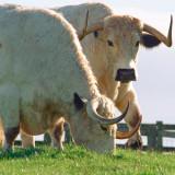 White Park Cattle
