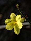 winter Jasmine...