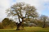 an old oak