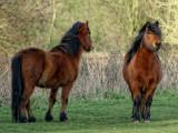 Hairy horses of Bromeswell