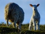 not to forget the sheep
